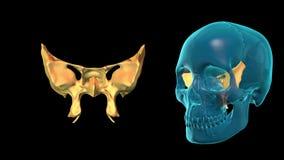 Sphenoid Bone - 3D MODEL ANIMATION