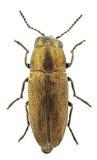 Sphenoptera cauta Royalty Free Stock Photos