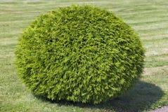 sphere för datalista för buskesnittcypress Arkivfoton