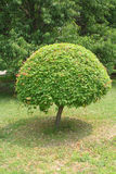 Sphere shaped tree Stock Photography
