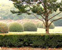China, Shanghai city, Safari Park Park area. Spherical Beautifully trimmed trees, in the area of the fog of Perkovich easy, November 2014, China Royalty Free Stock Images