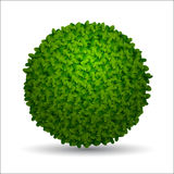Spherical boxwood bush Stock Image