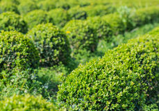 Spherical boxwood bushes close Royalty Free Stock Photos