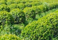 Spherical boxwood bushes close Royalty Free Stock Photos