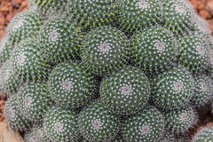 Spherical cactus. Beautiful many green cactus with white spines on desert royalty free stock images