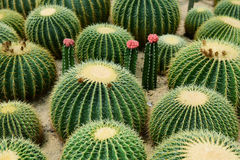 The spherical cactus Royalty Free Stock Photos
