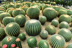 The spherical cactus Royalty Free Stock Photography