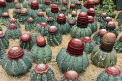 The spherical cactus Stock Images