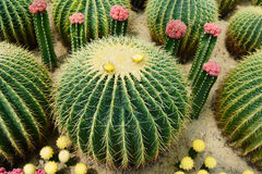 The spherical cactus Stock Image