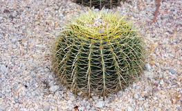 Spherical cactus on sand Royalty Free Stock Photography