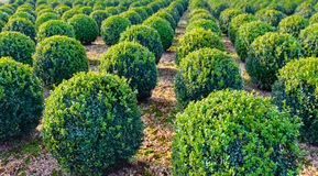 Spherical clipped boxwood plants in a row Royalty Free Stock Image