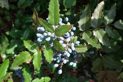 Spherical blue berries of Oregon grape-holly. Spherical dark dusty blue berries of Oregon grape-holly stock image