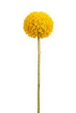 Spherical with a delicate yellow flower stems Royalty Free Stock Images