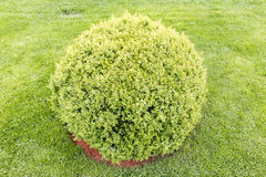 Spherical green bush Stock Photos