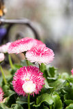 Spherical hedgehog shaped flowers Royalty Free Stock Image