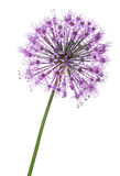 Spherical large violet flower isolated on white Stock Image