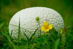Spherical mushroom. White mushroom - Langermania Gigantaea - growing on the cool, soft grass, in a mountain forest, with a little yellow flower near it, under a royalty free stock photography