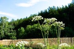 Spherical umbrellas Garden Angelica on a background of blue sky. Wild Celery and Norwegian Angelica Angelica Archangelica