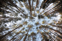 Spherical view of the pine tree forest tops. The winter pine tree forest tops in a interestingly looking spherical view royalty free stock images
