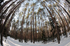 Spherical views of the pine winter forest. The winter pine tree forest and an interestingly looking spherical view stock photos