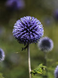 Spheroid purple flower Royalty Free Stock Photos