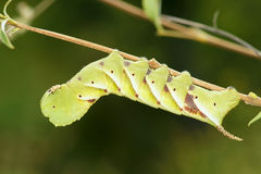 Sphingid larv Fotografering för Bildbyråer