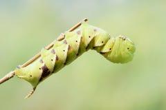 Sphingid larva Royalty Free Stock Image