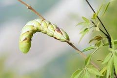 Sphingid larva Stock Photo