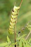 Sphingid larva Royalty Free Stock Photography