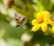 Sphingidae, известный как Хоук-сумеречница пчелы, наслаждаясь нектаром желтого цветка Стоковые Фотографии RF