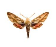 Sphingidae Royalty Free Stock Photo