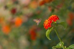 Sphingidae Foto de archivo