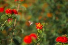 Sphingidae Fotografía de archivo