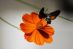 Sphingidae, als bijen havik-Mot wordt bekend, die van de nectar van een oranje bloem genieten die Kolibriemot Calibrimot royalty-vrije stock foto