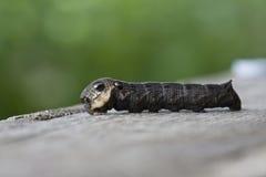 Sphingidae caterpillar Stock Image