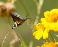 Sphingidae, conocido como Halcón-polilla de la abeja, gozando del néctar de una flor amarilla Fotografía de archivo libre de regalías
