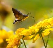 Sphingidae, conocido como Halcón-polilla de la abeja, gozando del néctar de una flor amarilla Fotos de archivo