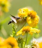 Sphingidae, conocido como Halcón-polilla de la abeja, gozando del néctar de una flor amarilla Polilla de colibrí Polilla de Calib Foto de archivo libre de regalías