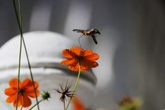 Sphingidae, conocido como Halcón-polilla de la abeja, gozando del néctar de una flor anaranjada Polilla de colibrí Polilla de Cal Fotografía de archivo libre de regalías