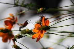 Sphingidae, conocido como Halcón-polilla de la abeja, gozando del néctar de una flor anaranjada Polilla de colibrí Polilla de Cal Imágenes de archivo libres de regalías