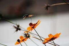 Sphingidae, conocido como Halcón-polilla de la abeja, gozando del néctar de una flor anaranjada Polilla de colibrí Polilla de Cal Imagen de archivo libre de regalías