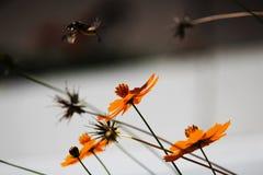 Sphingidae, conocido como Halcón-polilla de la abeja, gozando del néctar de una flor anaranjada Polilla de colibrí Polilla de Cal Fotos de archivo libres de regalías