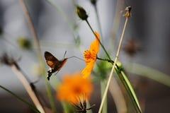 Sphingidae, conocido como Halcón-polilla de la abeja, gozando del néctar de una flor anaranjada Polilla de colibrí Polilla de Cal Fotos de archivo
