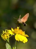 Sphingidae, conosciute come il Falco-lepidottero dell'ape, godente del nettare di un fiore Immagini Stock Libere da Diritti