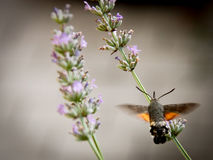 Sphingidae en una flor del lavander imagen de archivo libre de regalías