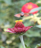 Sphingidae, known as bee Hawk-moth, enjoying the nectar of a gerbera. Hummingbird moth. Calibri moth. Royalty Free Stock Photography