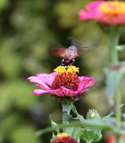 Sphingidae, known as bee Hawk-moth, enjoying the nectar of a gerbera. Hummingbird moth. Calibri moth. Stock Photography