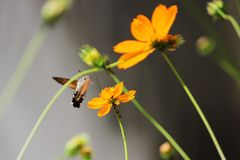Sphingidae, known as bee Hawk-moth, enjoying the nectar of a orange flower. Hummingbird moth. Calibri moth Stock Photo