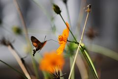 Sphingidae, known as bee Hawk-moth, enjoying the nectar of a orange flower. Hummingbird moth. Calibri moth Stock Photos
