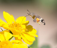 Sphingidae, known as bee Hawk-moth, enjoying the nectar of a yellow flower Stock Photography